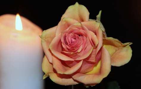 rose-1273723